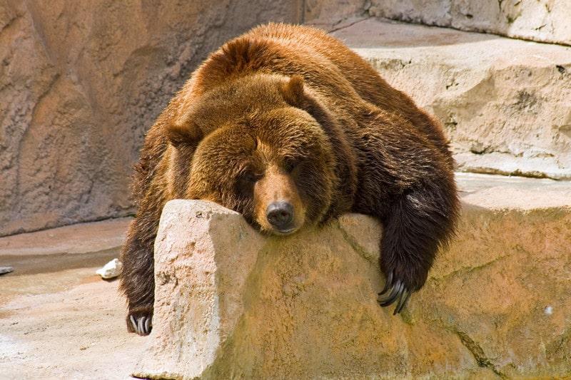 Bear with lack of mojo